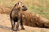 Spotted Hyaena cub, savannah, Masai Mara Natonal Reserve, Kenya