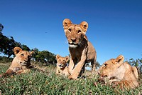 Lions Cubs, Masai Mara National Reserve, Kenya