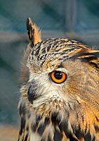 Eagle_owl