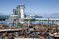 sea lions on pier 39, san francisco california united states of america