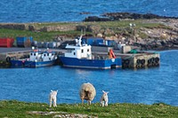 a sheep and two lambs standing side by side on the coast, shetland scotland