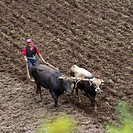 A Man Ploughs A Field With Cattle In The Andes Mountains, Peru