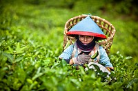 A Woman Wearing A Conical Hat At The Tea Plantation, Sumatran Indonesia