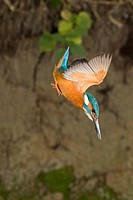 Common Kingfisher Alcedo atthis adult male, in flight, diving, Suffolk, England, may