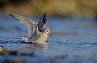 Knot Calidris canutus adult, winter plumage, foraging in shallow water on beach, preparing to leap into air to escape onrushing water, Shetland Island...
