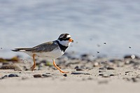 Ringed Plover Charadrius hiaticula adult, running along shore with flies, Yell, Shetland Islands, Scotland