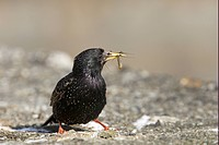Common Starling Sturnus vulgaris adult, summer plumage, with insects in beak, returning to nest with food, Yell, Shetland Islands, Scotland