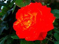 Macro of blooming beautiful rose