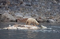 Polar Bear Ursus maritimus two adults, fighting, scavenging on dead Fin Whale Balaenoptera physalus carcase floating in sea, Spitsbergen, Svalbard, se...