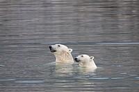 Polar Bear Ursus maritimus two adults, swimming, Spitsbergen, Svalbard, september