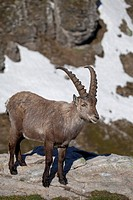 Alpine Ibex Capra ibex adult male, standing on rock, Niederhorn, Swiss Alps, Bernese Oberland, Switzerland, june