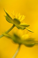 Lesser Celandine Ranunculus ficaria close_up of flowers, Sheffield, South Yorkshire, England, april