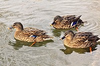 Females of the Mallard or wild duck (Anas platyrhynchos), dabbling duck which breeds throughout the temperate and subtropical Americas, Europe, Asia, ...