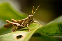 Grasshopper on leaf in the rain forest of the Osa Peninsula, Costa Rica