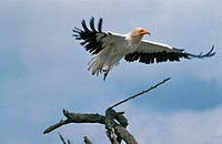 Egyptian Vulture, neophron percnopterus, Adult in Flight, Kenya