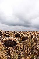 Field of Dried Sunflowers