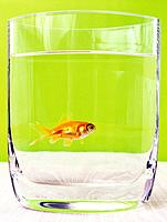 Goldfish in Drinking Glass