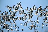 Swarm of goose in the flight, Lower Rhine