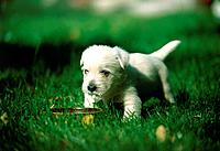 West Highland Terrier puppy at feeding bowl outside