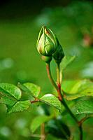 Germany, Bavaria, Close up of wild rose bud
