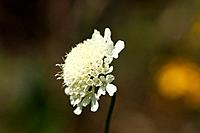 Austria, Wachau, Close up of cream scabious