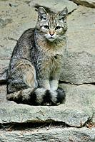 Young Wild cat Felis silvestris sitting on rock, Bavarian Forest, Germany