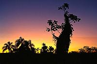 Silhouettes of trees at sunset, Misiones, Argentina, South America, America
