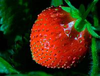 Thrickets of a strawberry