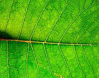 Underside Of Green Leaf
