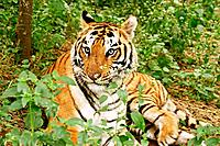 Royal Bengal Tiger India