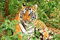 Royal Bengal Tiger India