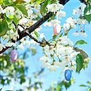 Easter Eggs in Blossoming Tree