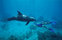 Coach with dolphin, Bottle_Nosed Dolphin, Tursiops truncatus, Islas de la Bahia, Hunduras, Caribbean