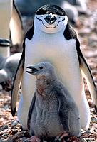 Two chinstrap penguins dam with chick