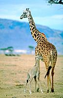 Giraffe with young one in the savannah Kenya
