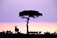 Herd of gazelles and antelope in front of sky at dawn, Masai Mara, Kenya, Africa