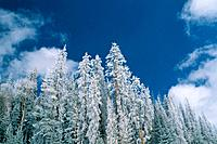 Snowcoverd fir trees, USA