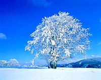 Snow_covered beech in the Black Forest Germany