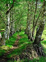 Birch alley in the summer