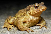 Common toad (Bufo spinosus) on the road of Irati forest, Navarra, Spain