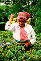Women pick tea leafs on the famous Darjeeling tea garden during the monsoon season, India