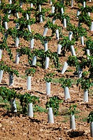 Plastic protectors keep harmful insects and small animals from destroying newly planted, young grape vines.