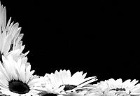 Sunflowers _ black and white