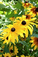 Several types of annual Rudbeckia´s in bloom with some Chamomille