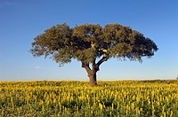 Cork oak tree Quercus suber in a blooming yellow Lupin field, Alentejo, Portugal