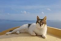 Cat lying on Wall, Oia village, Santorini, Cyclades Island, Greek Islands, Greece, Europe