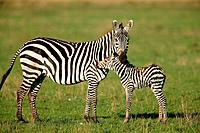 Zebra Mare with Foal