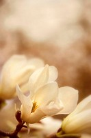 Close up white Magnolia flower