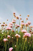 Bunch of Sea Pinks, Armeria maritinum, growing on cliff with blue sky beyond