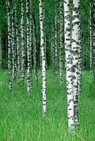 Birch Forest in Springtime in Finland